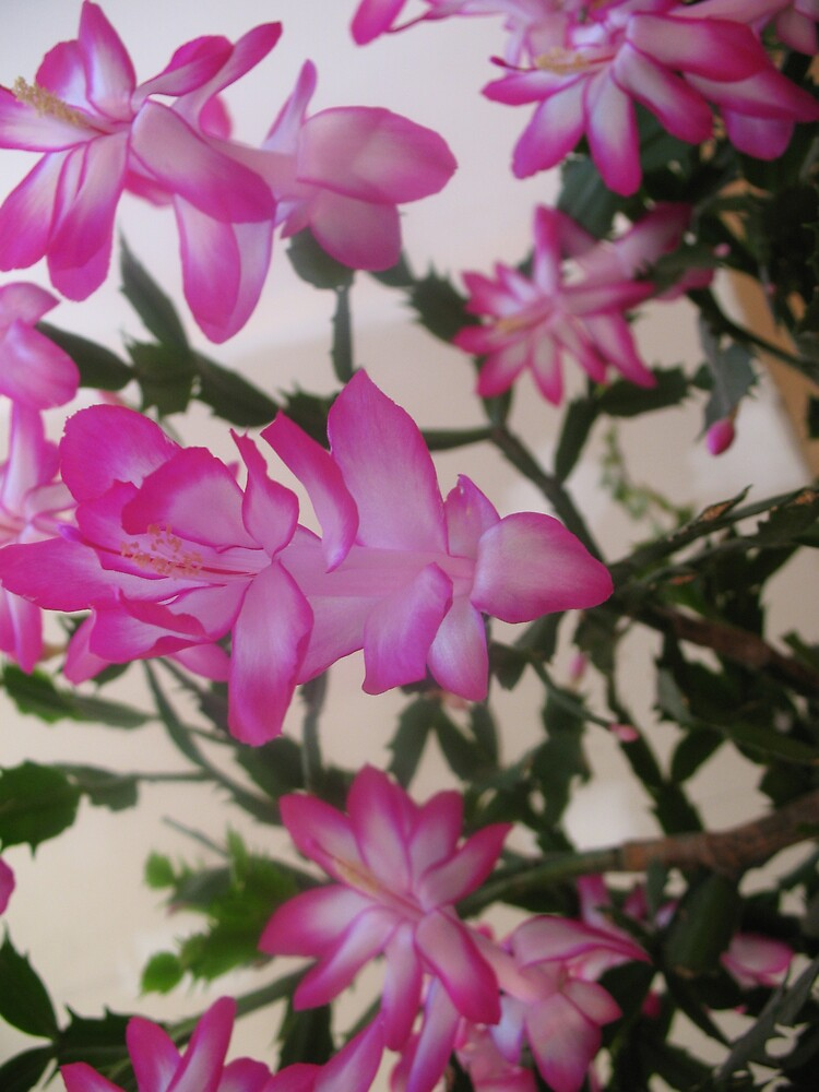 christmas cactus!! by Jeremie gaudreault