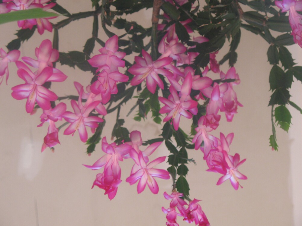 christmas cactus 2 by Jeremie gaudreault