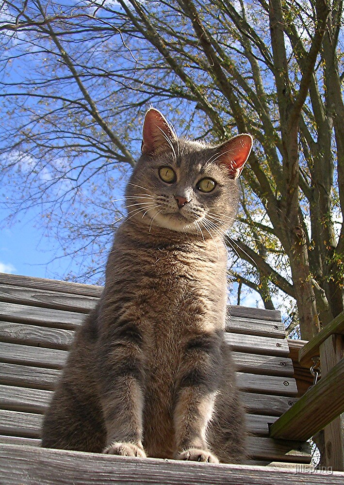 Gray Cat by jillspring