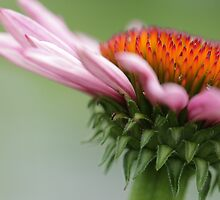 Coneflower by cresslerphotos