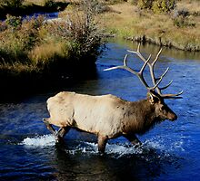 Bull Elk on the Prowl. by JamesMichael