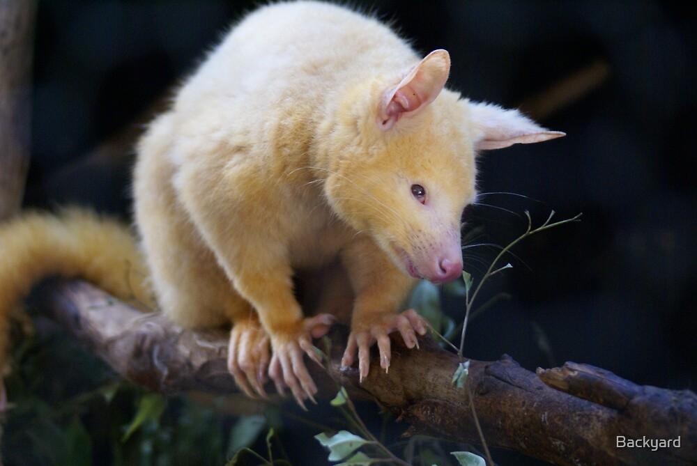 Possum White by Backyard