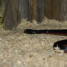 Red Belly Black Snake by Backyard