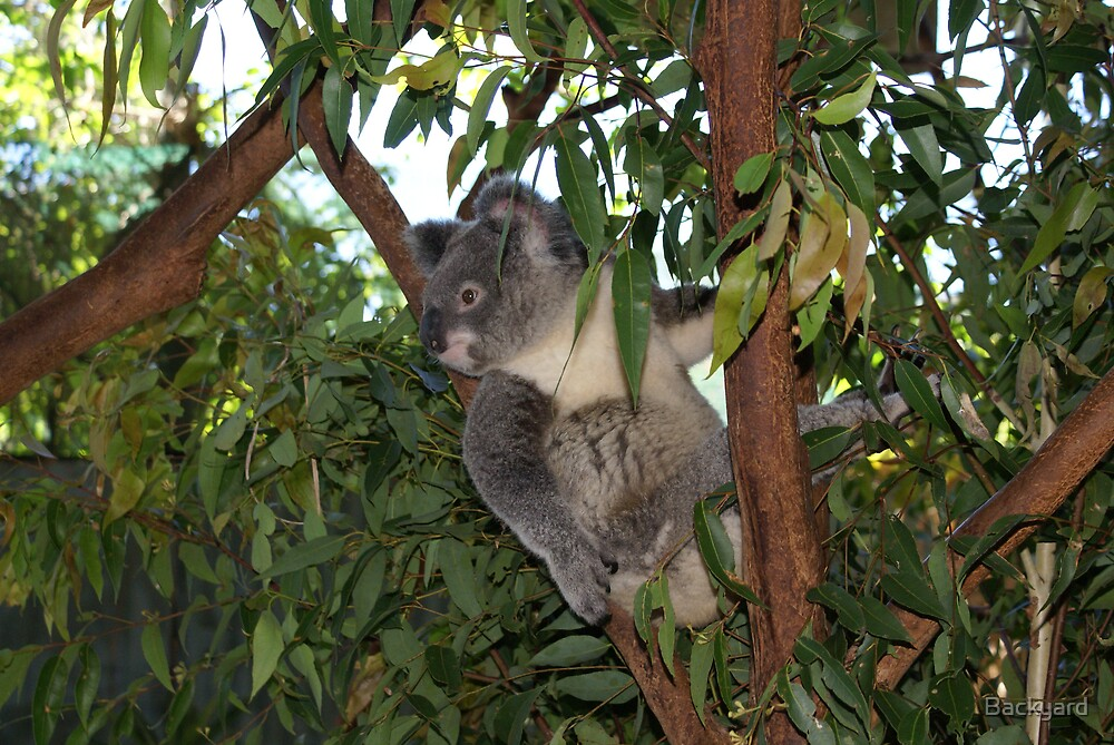 Backyard Koala by Backyard