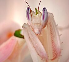 Orchid mantis by blepharopsis