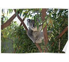 Backyard Koala Shy Now Poster
