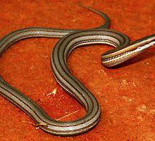 Burton's legless lizard by Stewart Macdonald