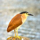 Nankeen night heron. by trevorb