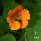 Nasturtium with wasp by Gilberte
