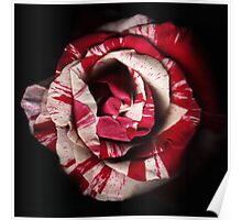 Striped Rose Poster
