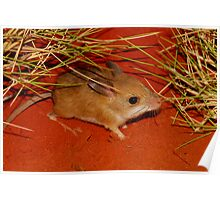 Spinifex hopping mouse Poster