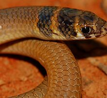 Legless lizard by Stewart Macdonald