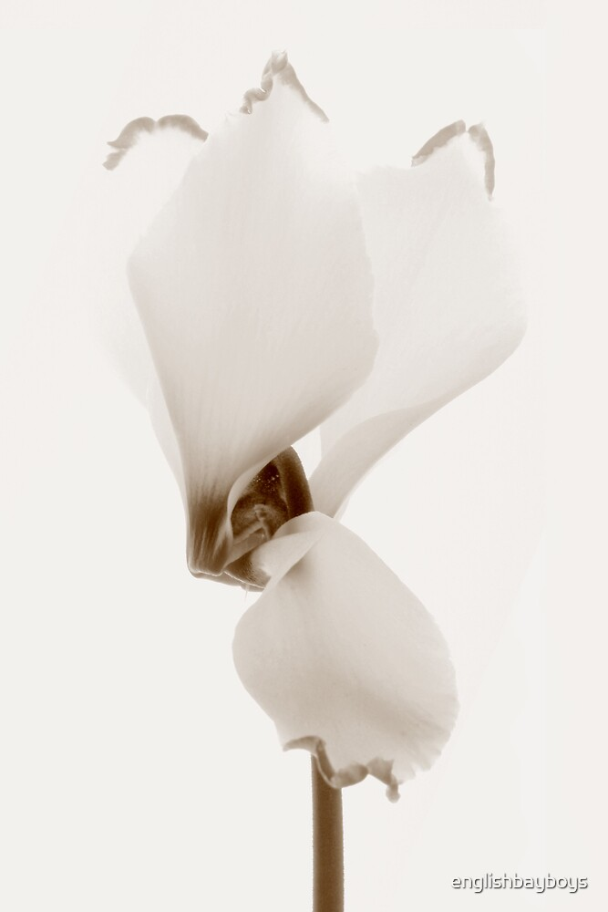 Sepia Cyclamen 2 by englishbayboys