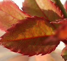 rose leaves in fall by jaffgj4