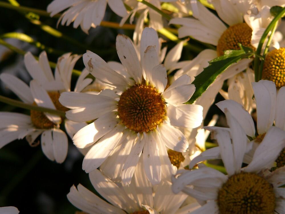 Daisy by beauryan