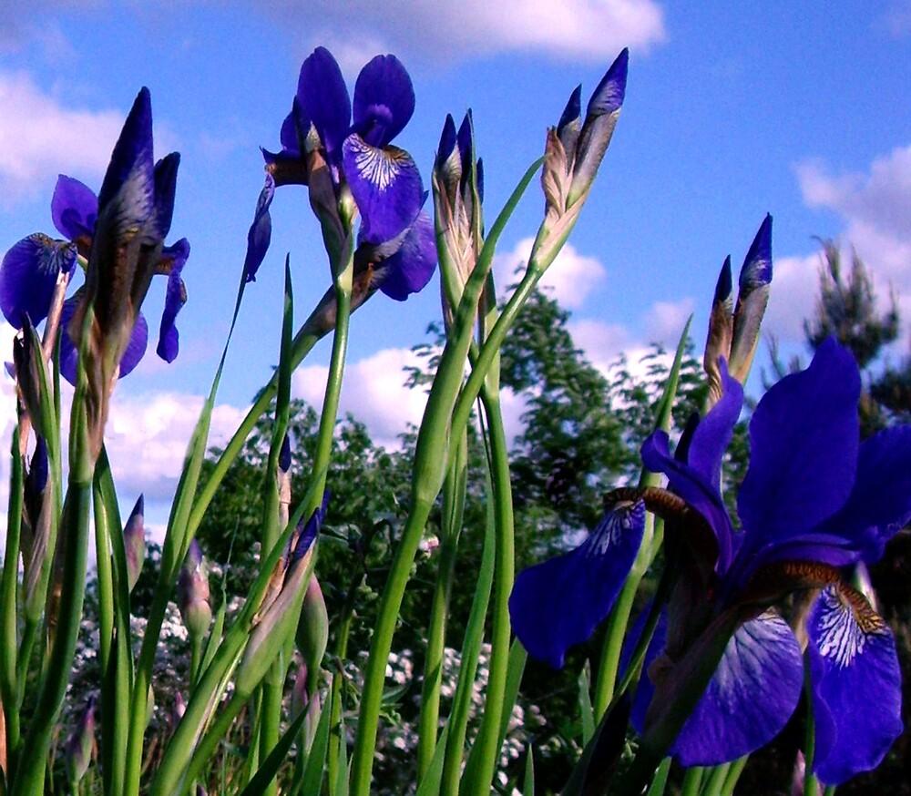 iris by nikspix