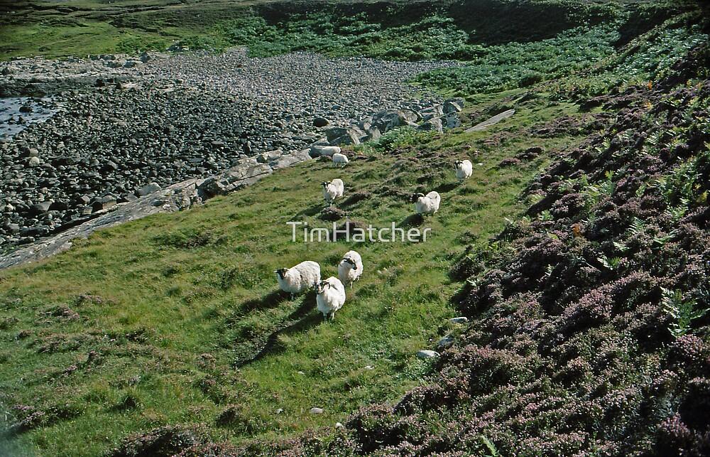 Sea,Sheep, Heather, coast,rocks by TimHatcher