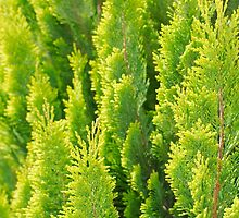 Bright Thuja Closeup by Inimma