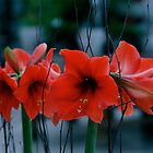 Low Light Amaryllis by autumnwind