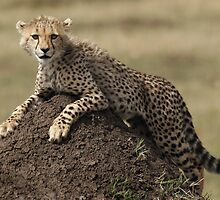 Cheetah Cub by Steve Bulford