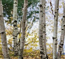 Birch Grove by mkurec