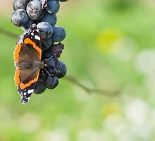 Red Admiral Eating Grapes by Inimma