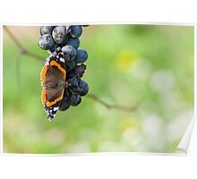 Red Admiral Eating Grapes Poster