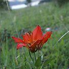 Tiger Lily by Jena Ferguson