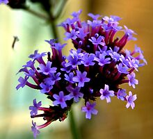 Verbena up close -  by lettie1957