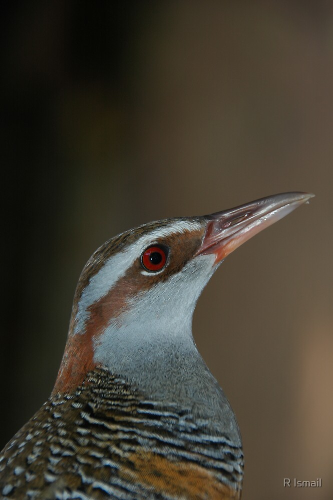 Buff-banded Rail by Rini Ismail