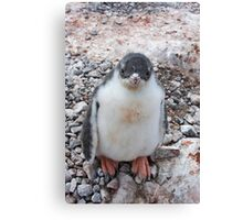 """Gentoo Penguin Chick ~ """"My life's goal....to grow into my feet!"""" Canvas Print"""