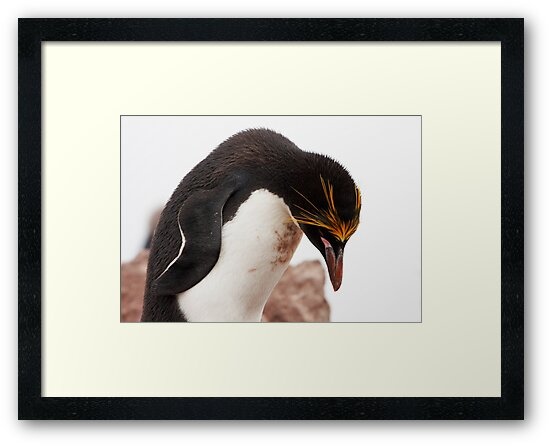 """Macaroni Penguin ~ """"...at the end of a hard day..."""" by Robert Elliott"""