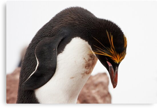 "Macaroni Penguin ~ ""...at the end of a hard day..."" by Robert Elliott"