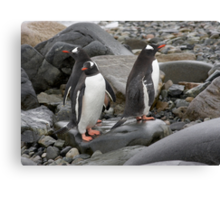 "Gentoo Penguins ~ ""Umm........ Which Way"" Canvas Print"