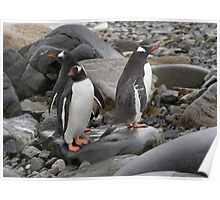 "Gentoo Penguins ~ ""Umm........ Which Way"" Poster"