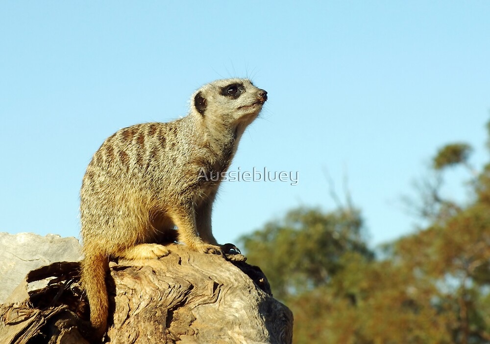 Meerkat, on alert. by Aussiebluey