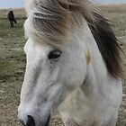 White Icelandic Horse by Englund