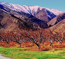 Wenatchee Apple Orchard by karolina
