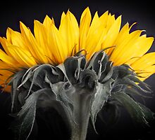 Sunflower by Alan Hawkins