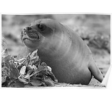Female Southern Elephant Seal Poster