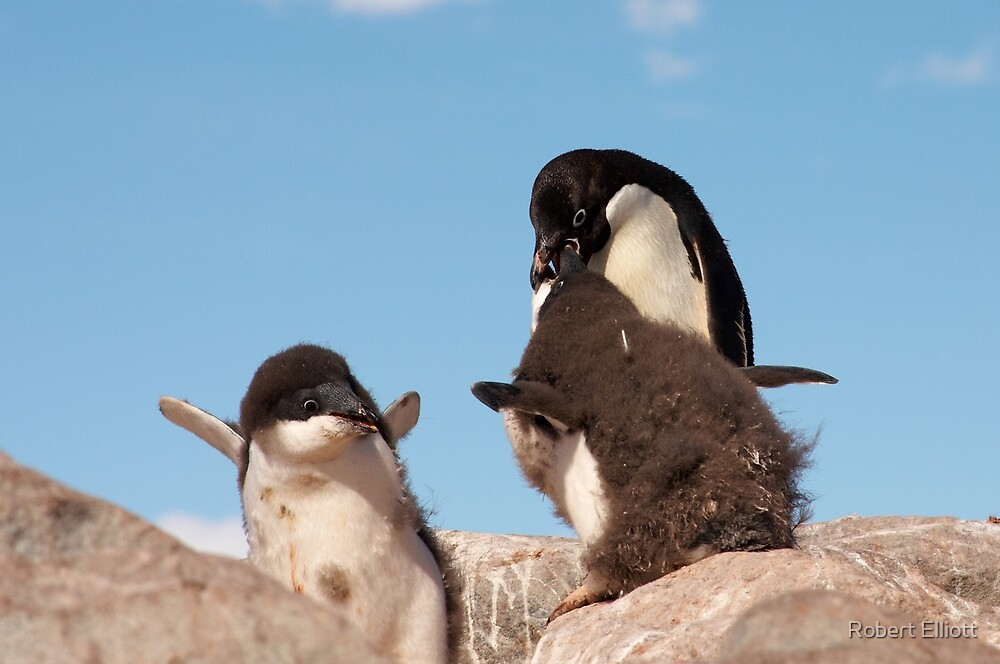 "Adelie Penguin and chicks ~ ""and WHEN do I get fed!!"" by Robert Elliott"