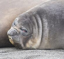"""Not another photo""   ~    Southern Elephant Seal Pup by Robert Elliott"