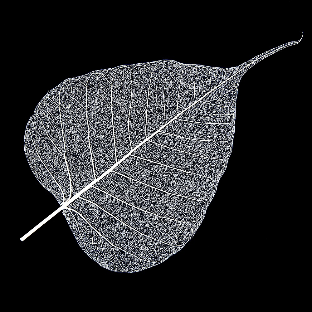 Leaf Skeleton White by Hywel Harris