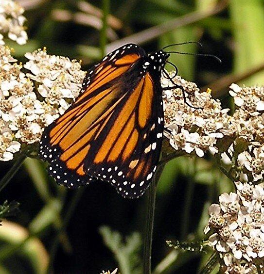Butterfly Memories by Jamaboop