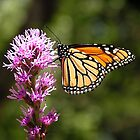 Monarch on Liatris by Jamaboop