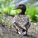 Mallard Duck - Female by Teresa Zieba