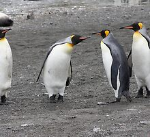 "King Penguins ~ ""A Gentlemen's Duel"" by Robert Elliott"