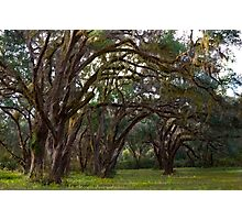 Live Oaks with Spanish Moss Photographic Print
