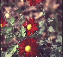 Red Daisy Mums by nikonjon
