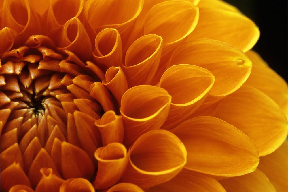 Orange Dahlia  by Don Guindon